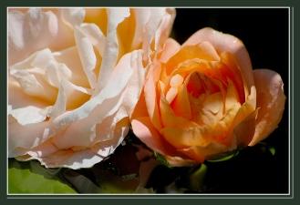CP-DSC_6371-roses sur l'eau