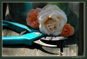 CP-DSC_6377-ce que vivent les roses 2...