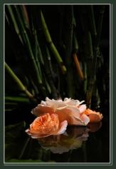 CP-DSC_6388-roses & prêle