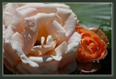CP-DSC_6392-rose claire
