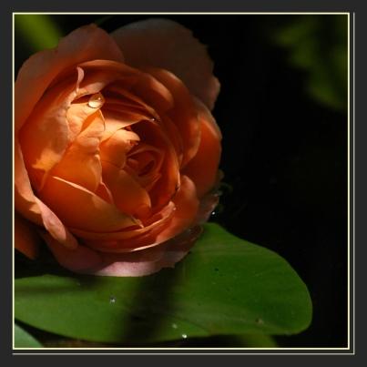 CP-DSC_6396-rose & rosée
