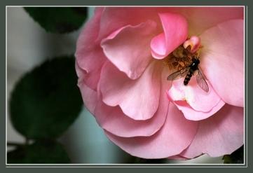 CP-DSC_6405-coeur de rose & insecte