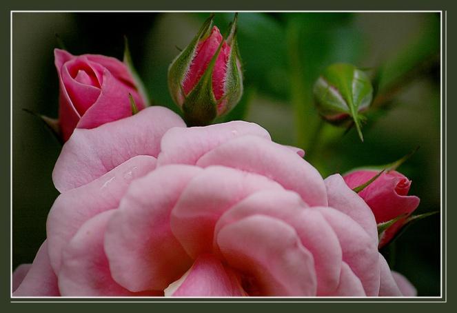 CP-DSC_6420-couronne de roses