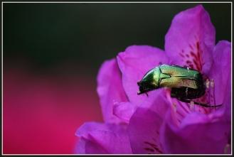 CP-DSC_6434-scarabée fond rouge