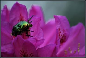 CP-DSC_6435-scarabée fond bleuté