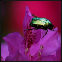 CP-DSC_6443-scarabée fond rouge 2