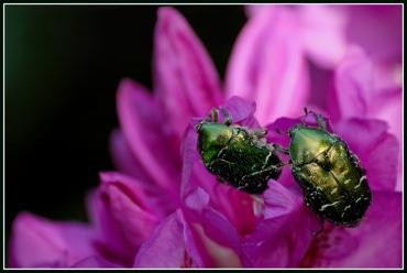 CP-DSC_6455-scarabées