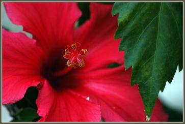 CP-DSC_6535-coeur & feuille d'hibiscus
