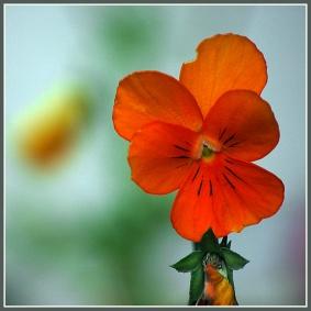 CP-DSC_6540-pensée orange