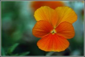 CP-DSC_6542-pensée orange