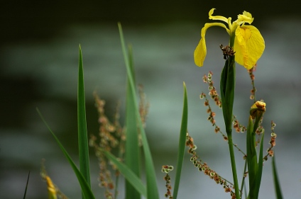 CP-DSC_6660-iris d'eau