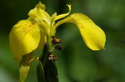 CP-DSC_6685-lis d'eau jaune