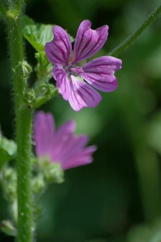 CP-DSC_6686-fleurs mauves