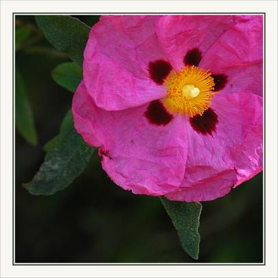 CP-DSC_6860-fleur rose