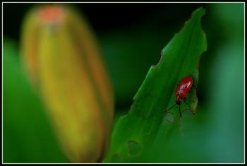 CP-DSC_7007-insecte & bouton de lys