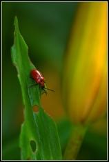 CP-DSC_7008-insecte & bouton de lys