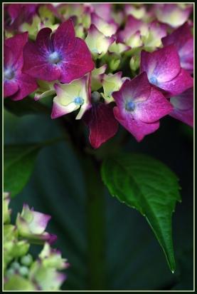CP-DSC_7013-tige hortensia