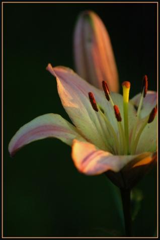 CP-DSC_7105-fleur & bouton de lys