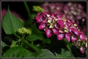 CP-DSC_7129-fleur et bouton hortensia