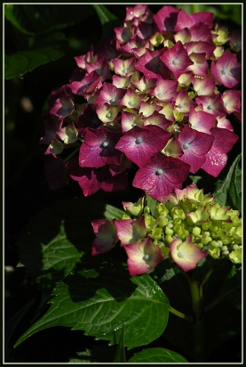 CP-DSC_7133-hortensia & tige