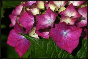 CP-DSC_7142-détail hortensia & feuille