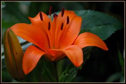 CP-DSC_7164-lys orange