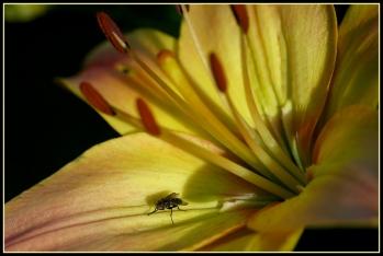 CP-DSC_7173-mouche dans le lys