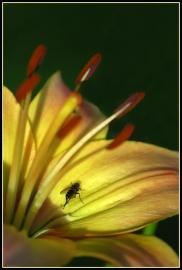 CP-DSC_7176-mouche sur lys