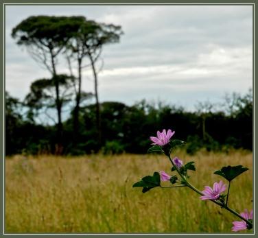 CP-DSC_7272-rec-pin de Certes flou & fleurs 2