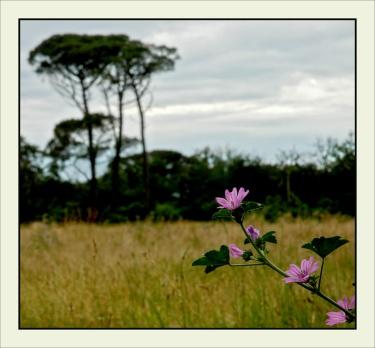 CP-DSC_7272-rec-pin de Certes flou & fleurs