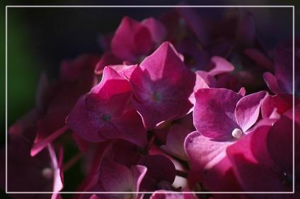CP-DSC_7308-détail hortensia rose vif