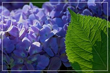 CP-DSC_7310-feuille & hortensia bleu