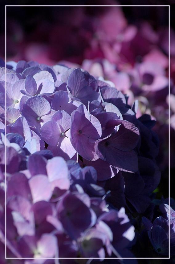 CP-DSC_7311-hortensias bleus & roses