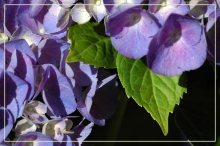 CP-DSC_7312-feuilles & hortensias