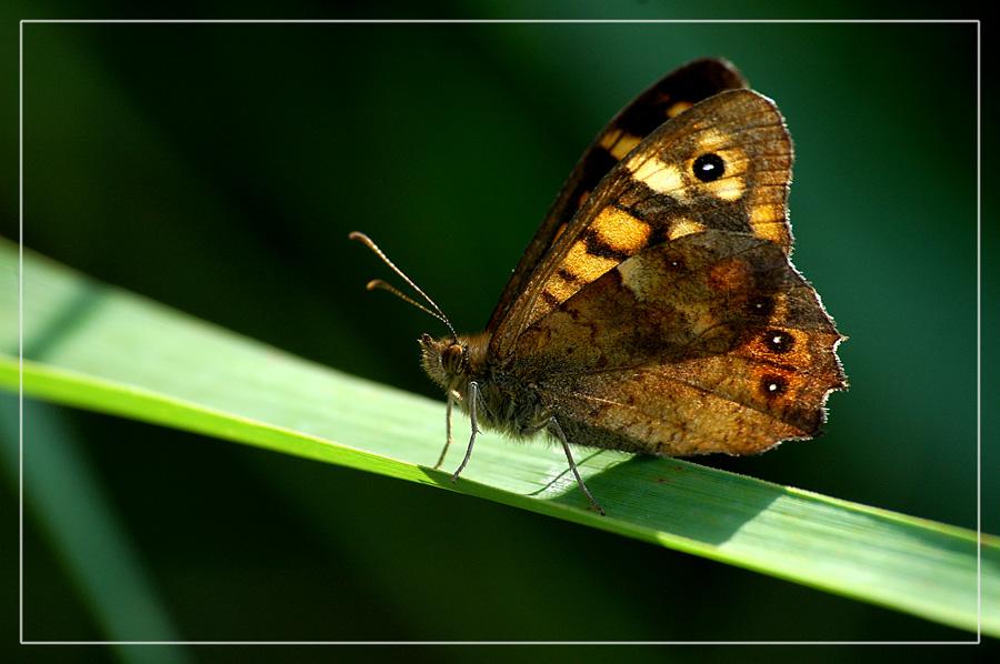 CP-DSC_7372-papillon