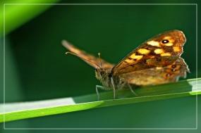 CP-DSC_7375-papillon ailes déployées