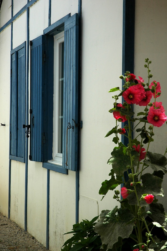 CP-DSC_7635-rose trémière Piraillan