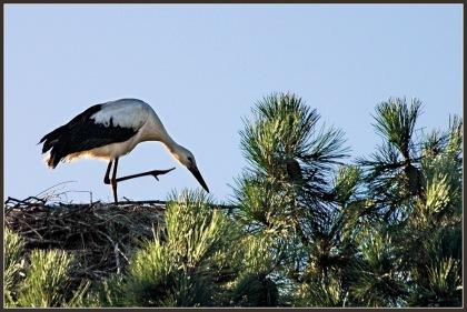 CP-DSC_8508-cigogne, oiseau mi-gratteur