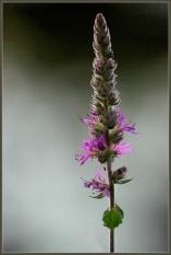 CP-DSC_8556-fleur
