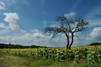 CP-DSC_8972-arbre mort & tournesols