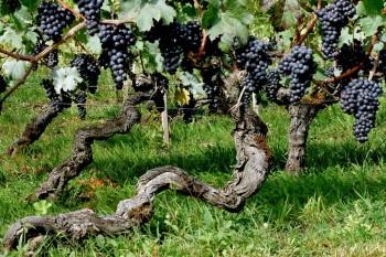 CP-DSC_9332-cep de vigne & grappes