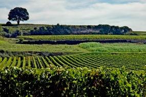 CP-DSC_9339-rang de vigne, coteau & arbre