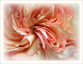 CP-Img_0264 - rose