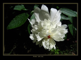 CP-Img_0281-pivoine