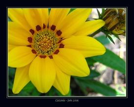 CP-Img_0350-gazania 2