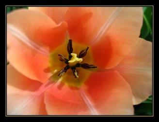CP-IMG_3429-coeur de tulipe