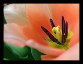 CP-IMG_3431-coeur de tulipe