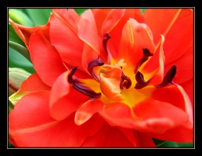 CP-IMG_3433-coeur tulipe double