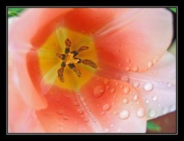 CP-IMG_3494-tulipe après la pluie