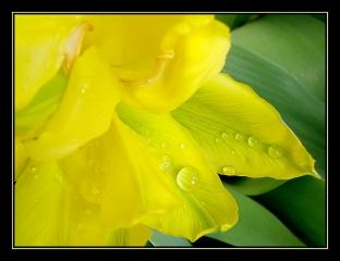 CP-IMG_3500-tulipe jaune après la pluie